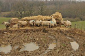 Fressende Schafe an einem Heuhaufen vor schlammdurchwühltem Grund