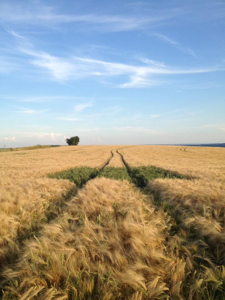 Ein Gerstenfeld, schon bald erntereif golgelb mit fluchtender Traktorspur. Blauer Himmel. In der Mitte ein quadratischer Fleck grüner Nachsaat.