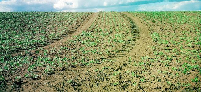 Eine junges Rübenfeld mit aufkeimenden Pflanzen vor starkblauem, schönwetterbewölktem Himmel wird von einer Traktorspur durchbrochen.